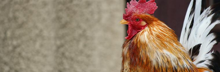 赤色系の地鶏