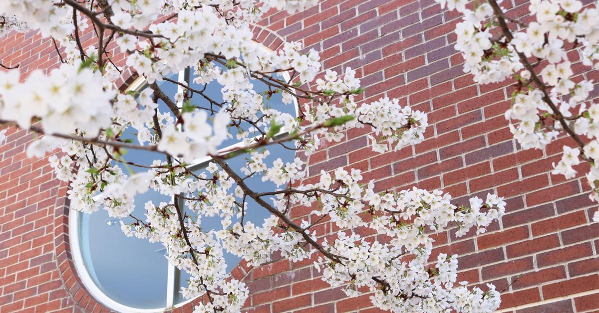 学校に咲く桜