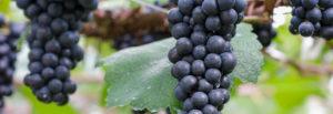 赤ワイン用のぶどう品種ガメイ